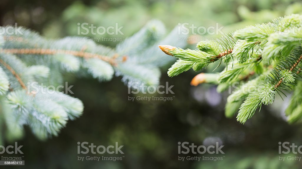 Spruce Trees with New Springtime Growth stock photo