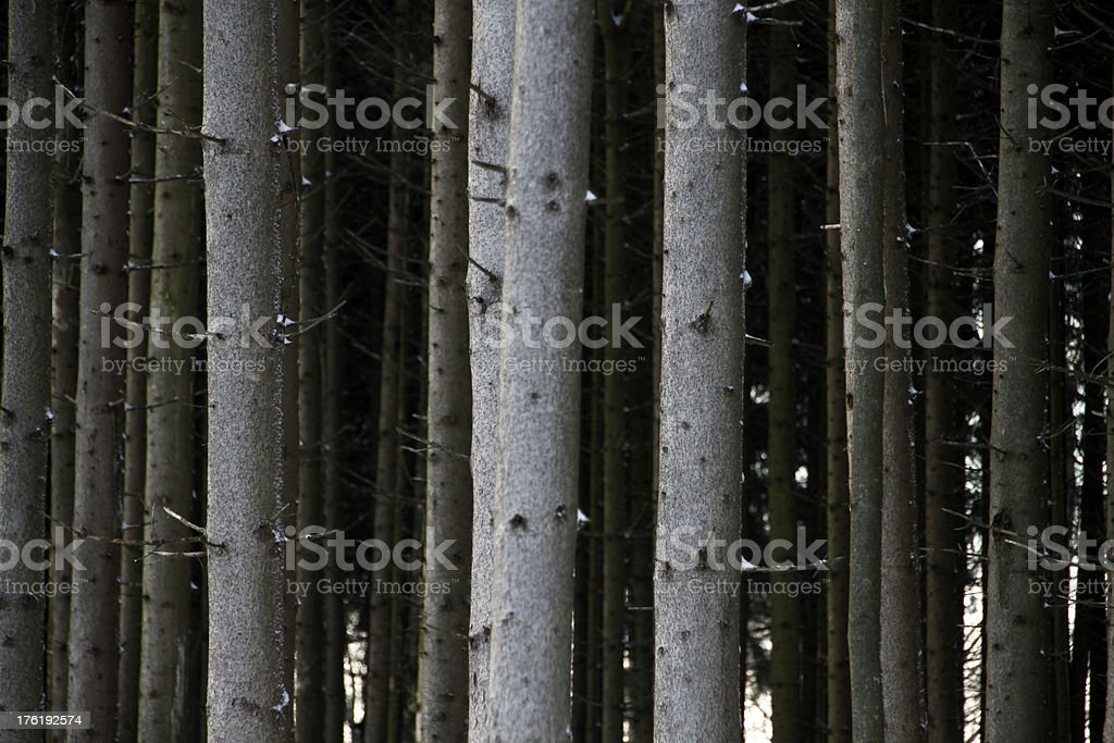 Spruce trunks in a forest stock photo