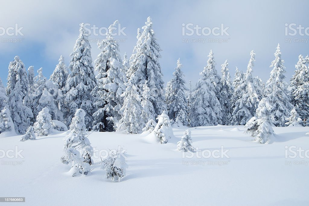 Spruce Winter Forest III royalty-free stock photo