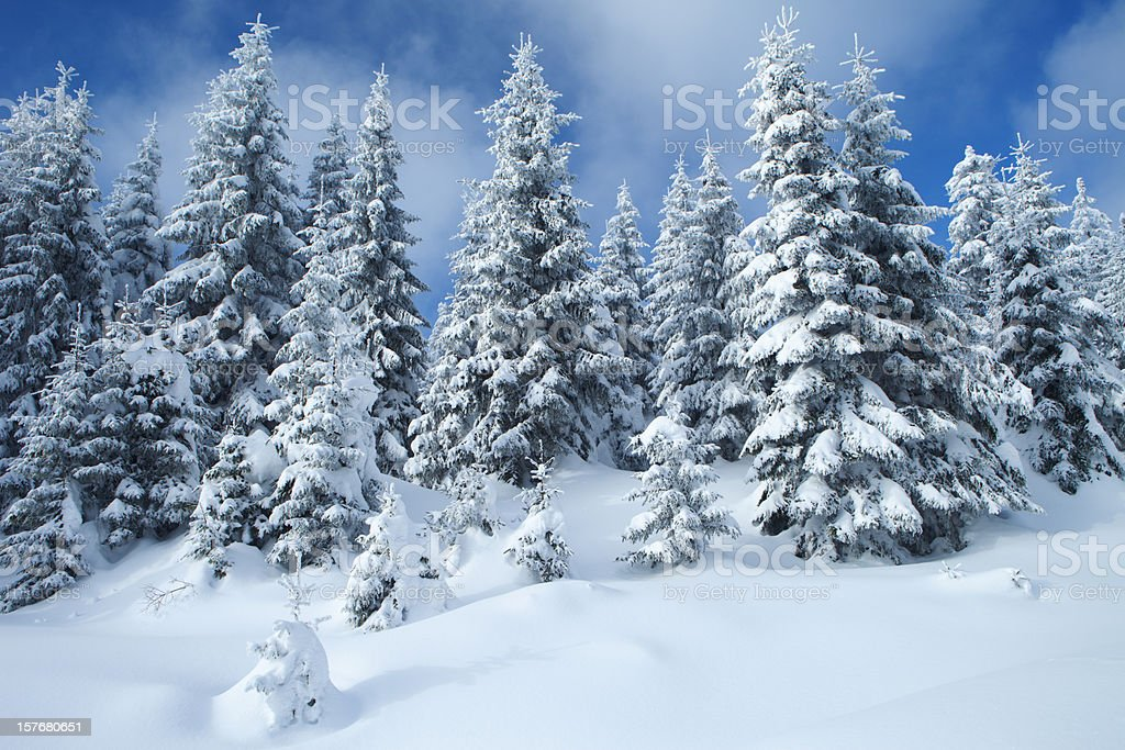 Spruce Winter Forest royalty-free stock photo