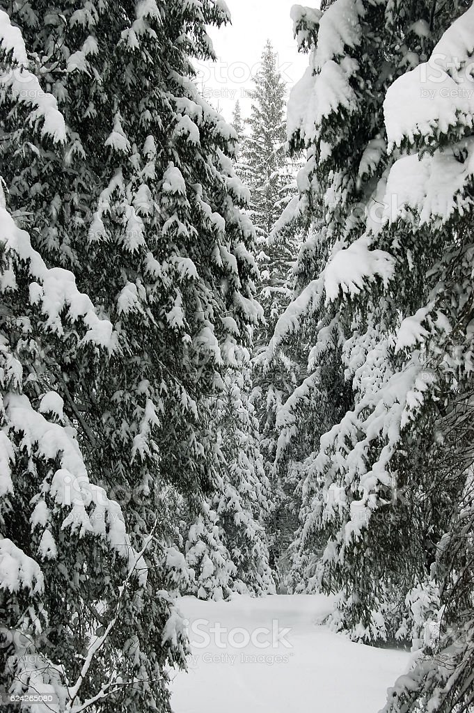 Spruces in snow. stock photo