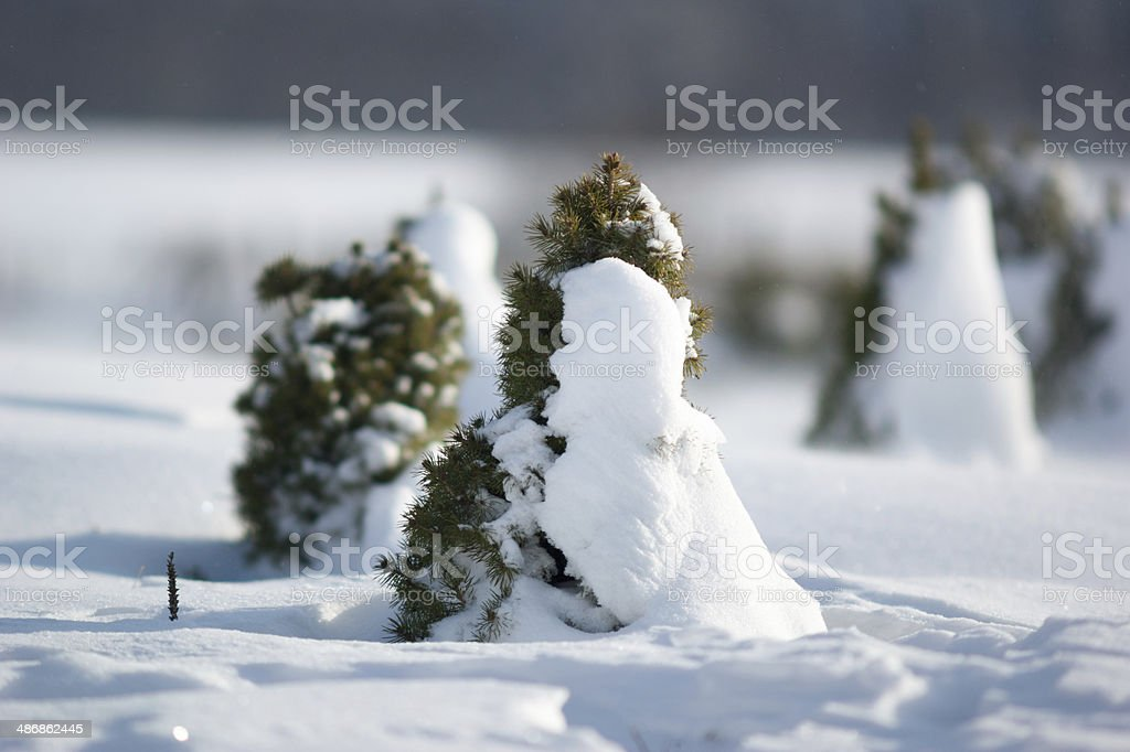 Spruces in snowy winter stock photo