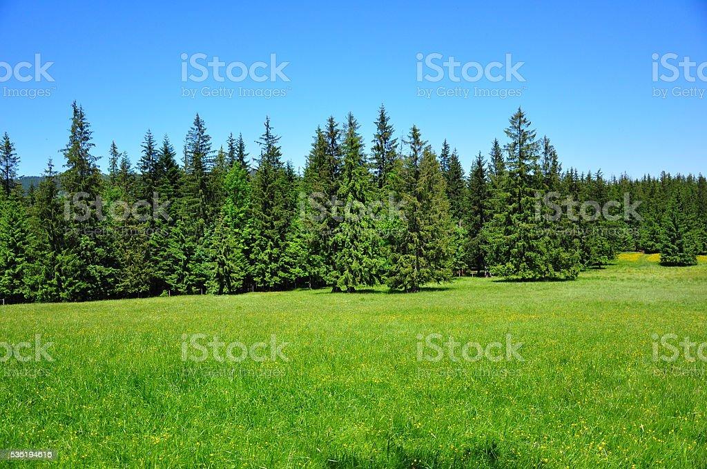 Spruces tree stock photo
