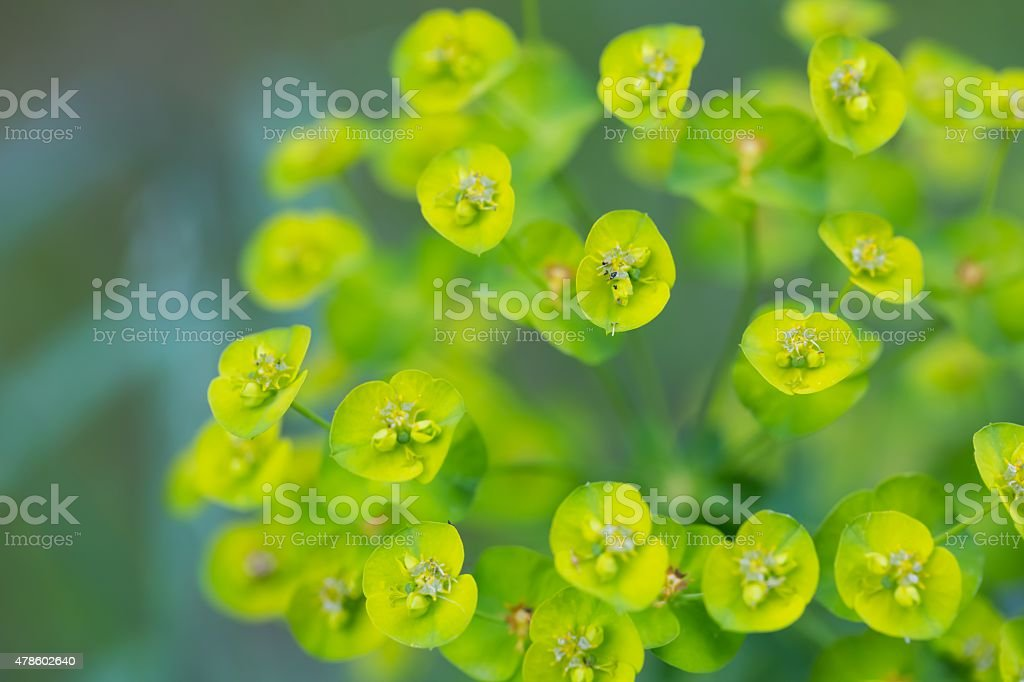 Spurge flowers (Euphorbia Amygdaloides) stock photo