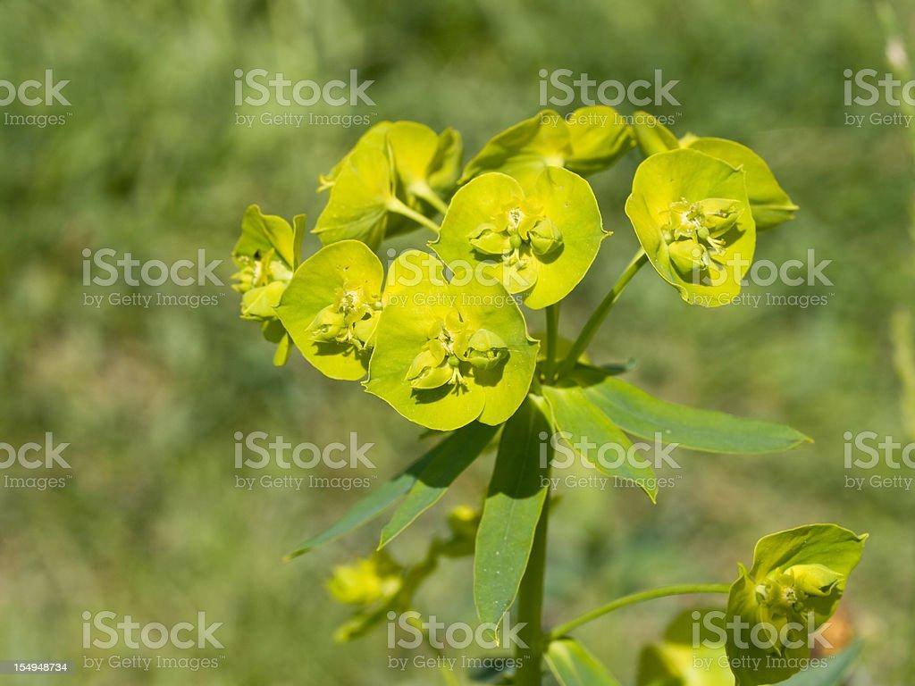 Spurge (Euphorbia cyparissias) stock photo