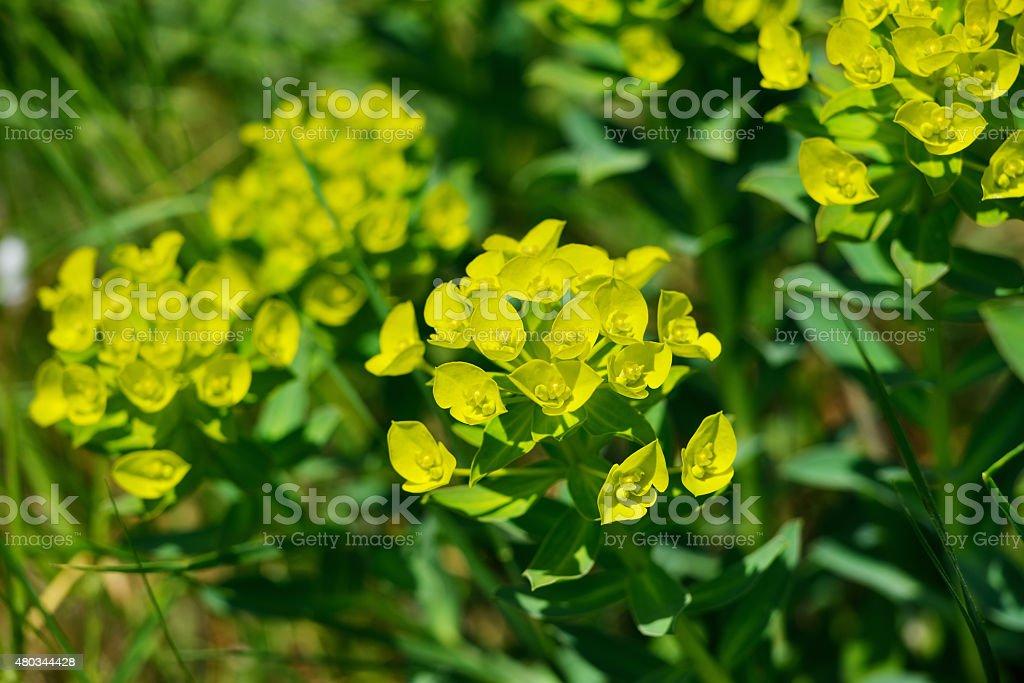 Spurge (Euphorbia peplus) stock photo