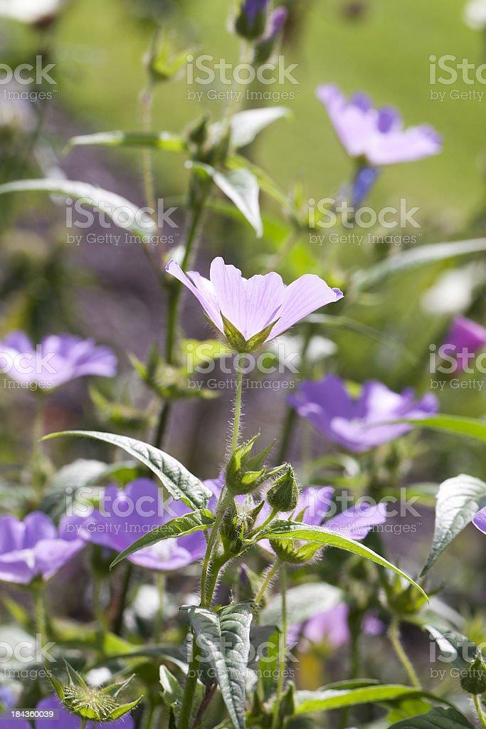 Spurred Anoda (Anoda cristata) stock photo