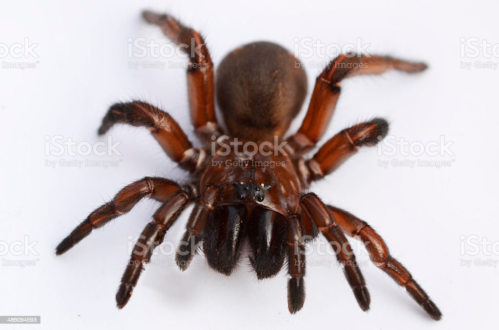 Spurred trapdoor spider royalty-free stock photo