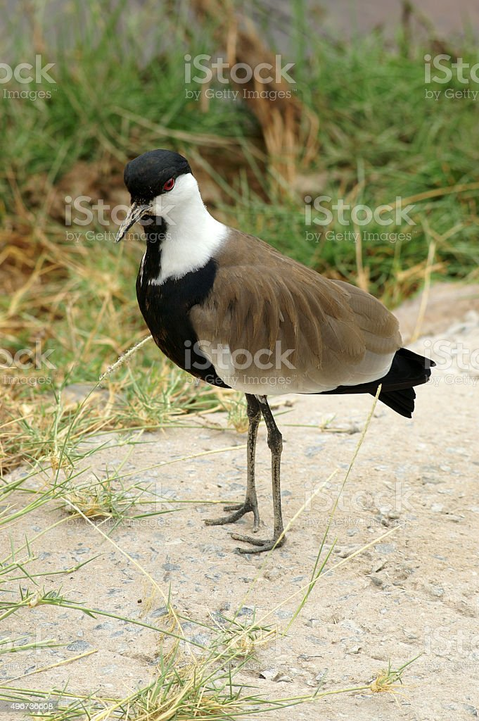 Spur-winged lapwing stock photo