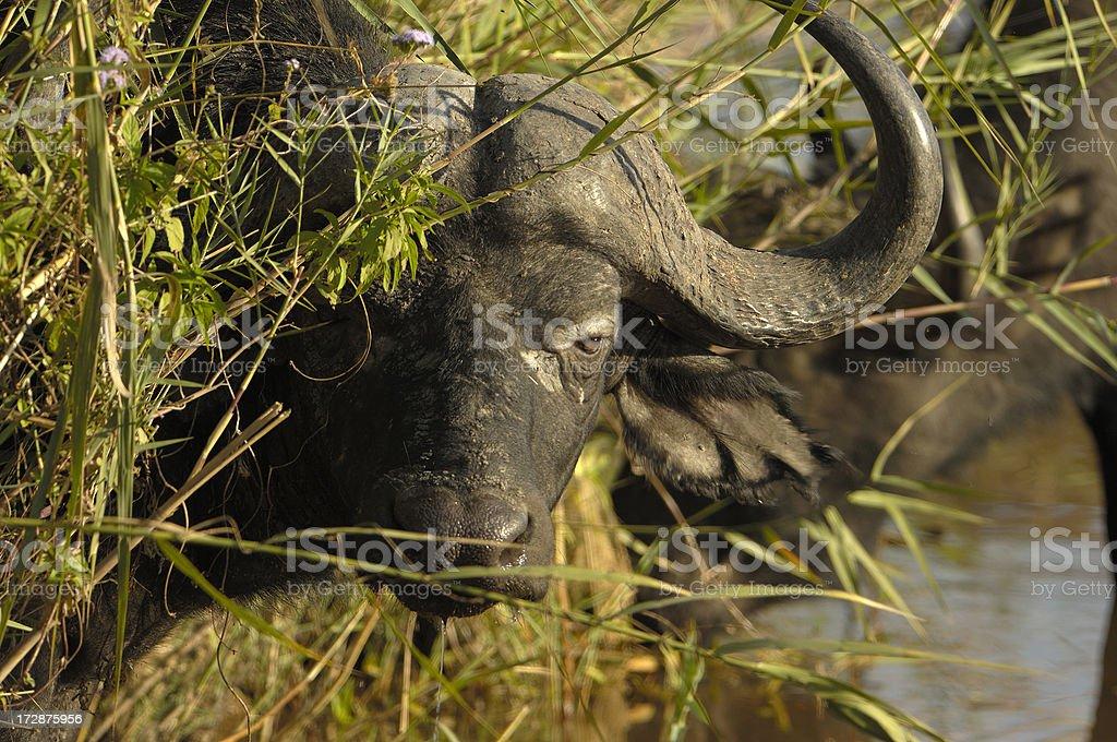 Spying african buffalo stock photo