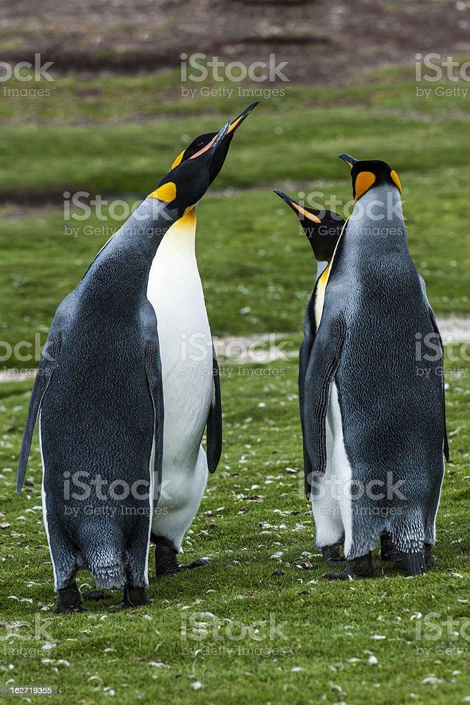 Squabbling King Penguins royalty-free stock photo