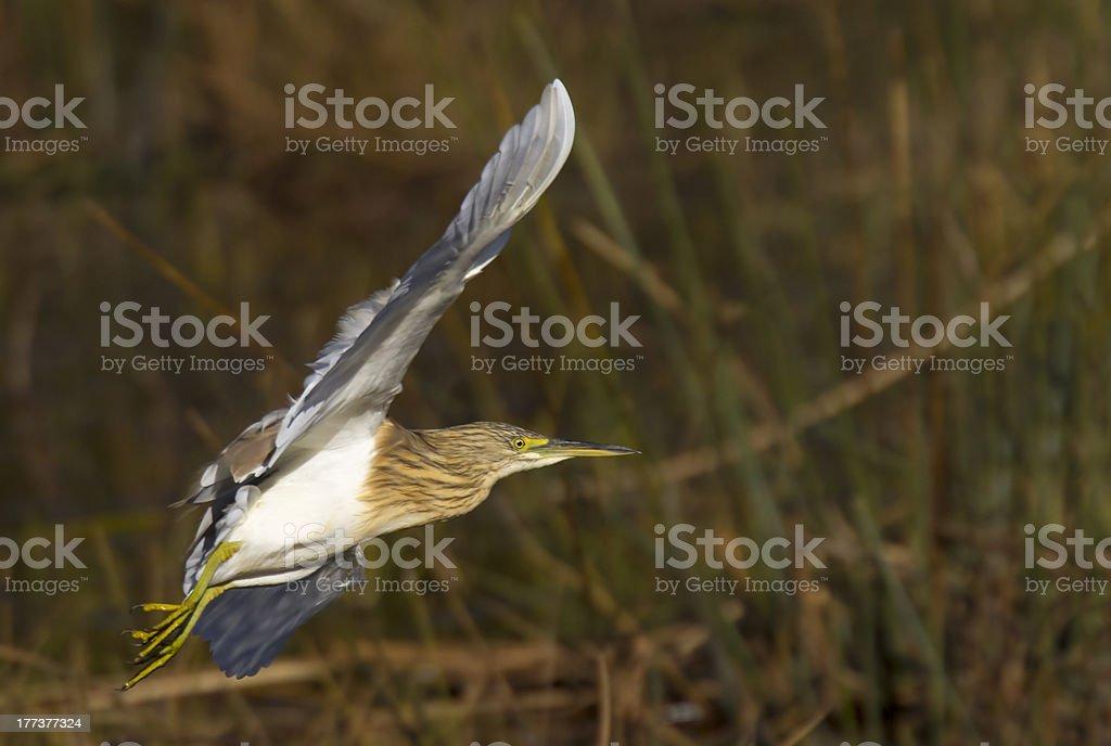 Squacco Heron ujęte w pełni lotu, Nicei Skrzydło pozycji zbiór zdjęć royalty-free