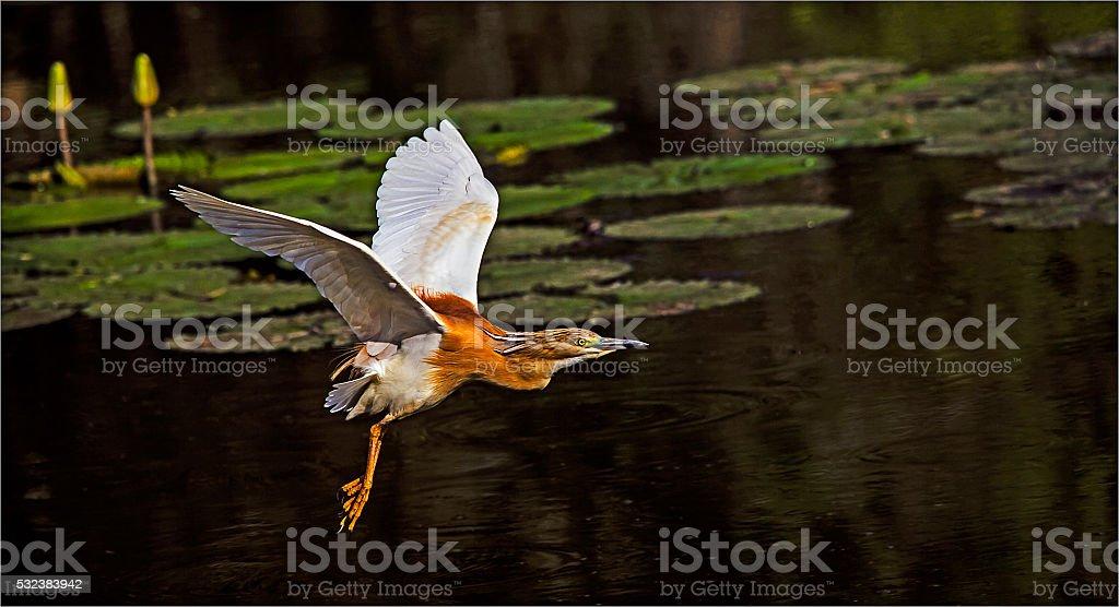 Squacco Heron in Flight stock photo