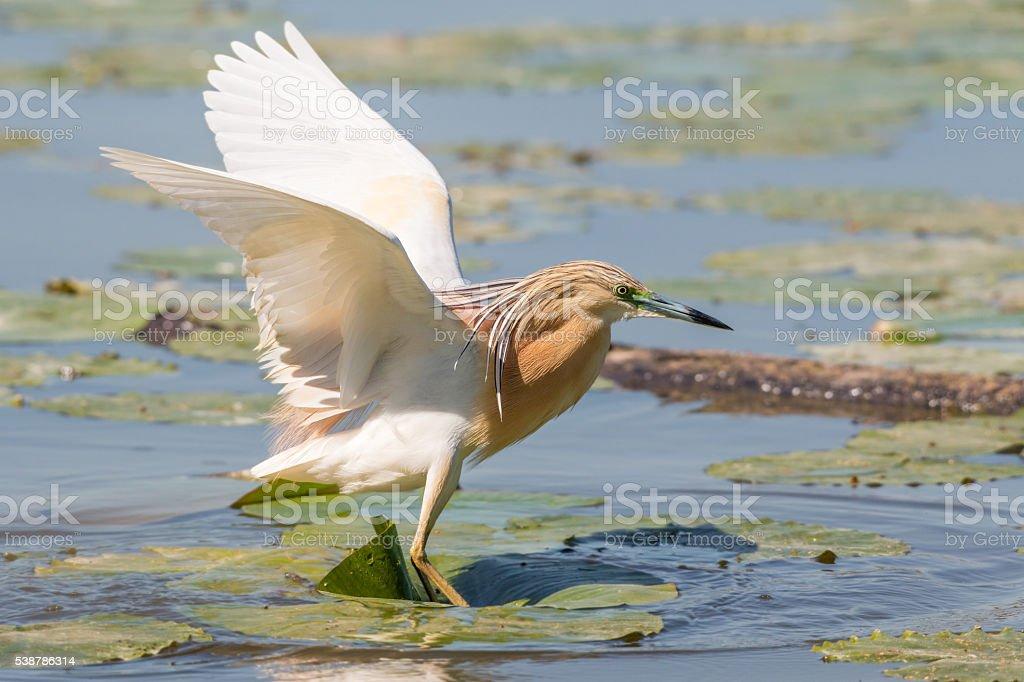 squacco heron landing on a nymph stock photo