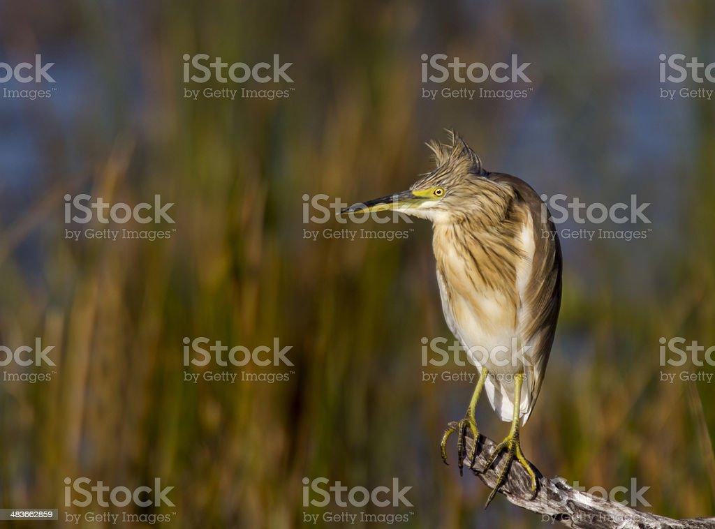 Squacco Heron leżącej przed ładny tle zbiór zdjęć royalty-free