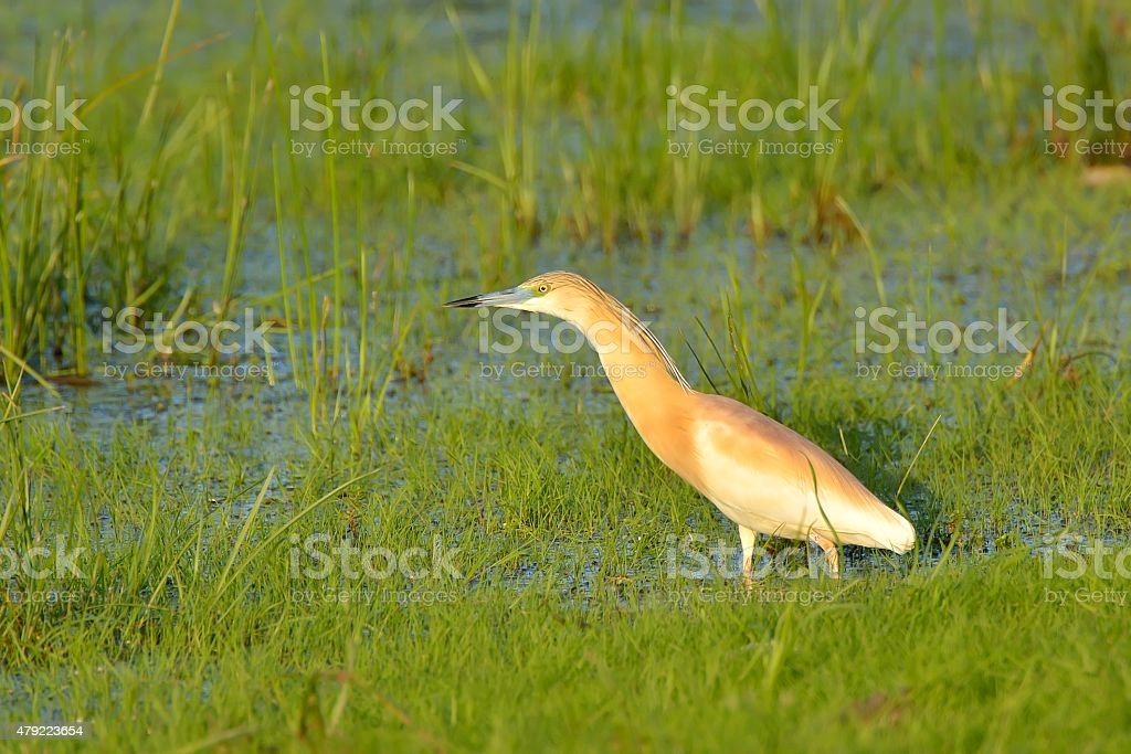 squacco heron (Ardeola ralloides) stock photo