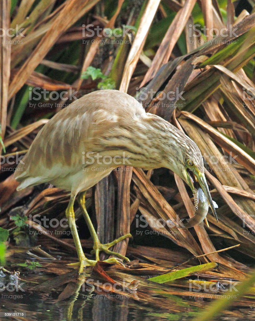 Squacco Heron (Ardeola ralloides) stock photo