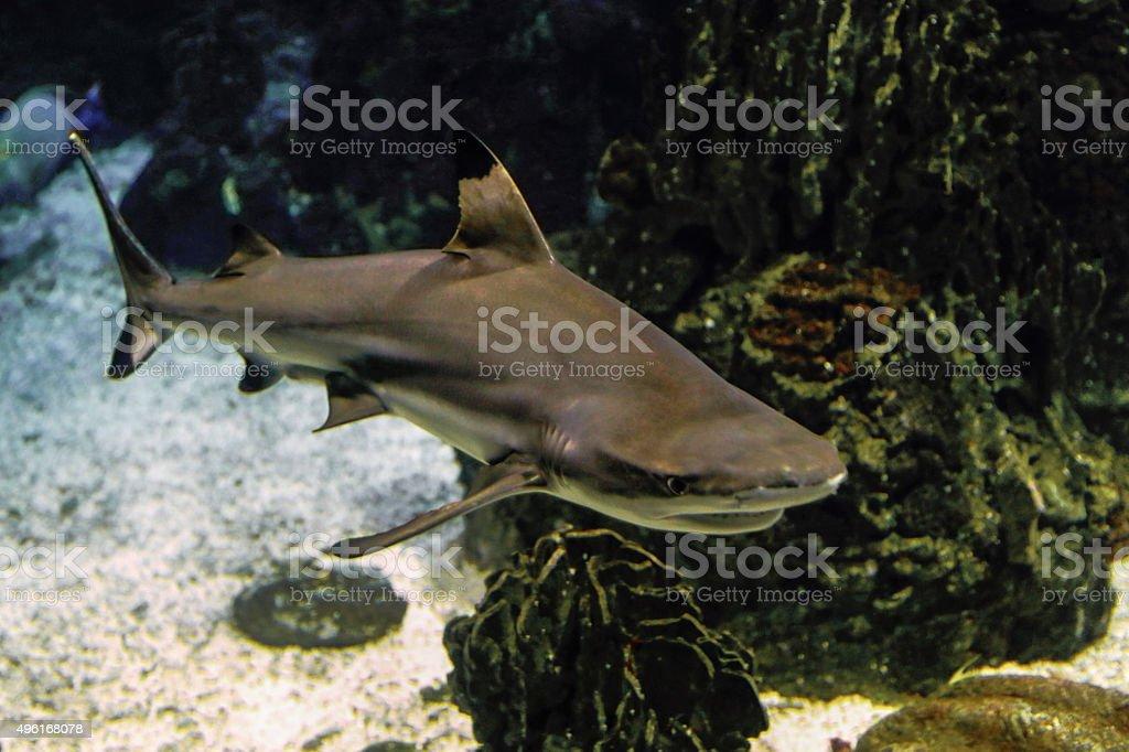 Squalo pinna nera del reef  (Carcharhinus Melanopterus) stock photo