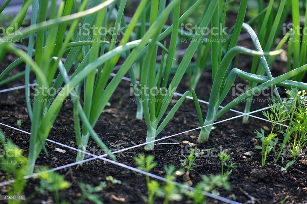 Square Foot Gardening stock photo