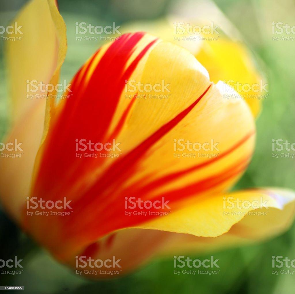 Square Format Tulip stock photo