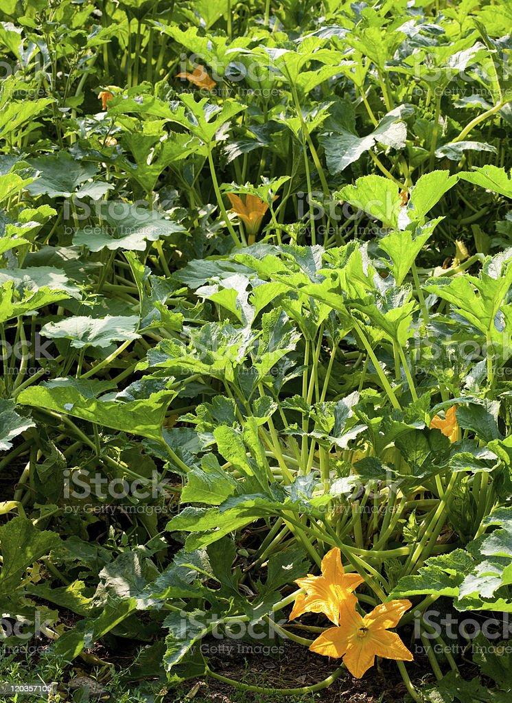 Squash bush royalty-free stock photo