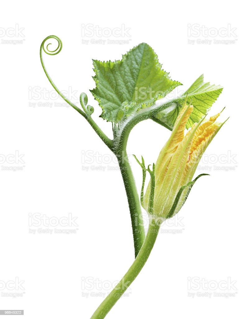 Squash Flower and Leaves royalty-free stock photo