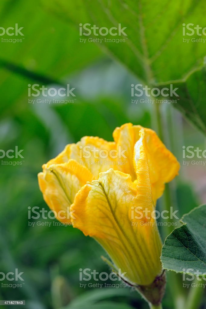 Squash Flower in Vegetable Garden royalty-free stock photo