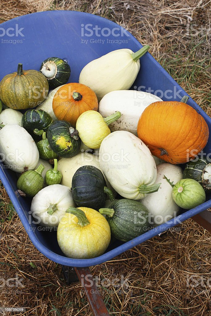 Squash Harvest IV royalty-free stock photo