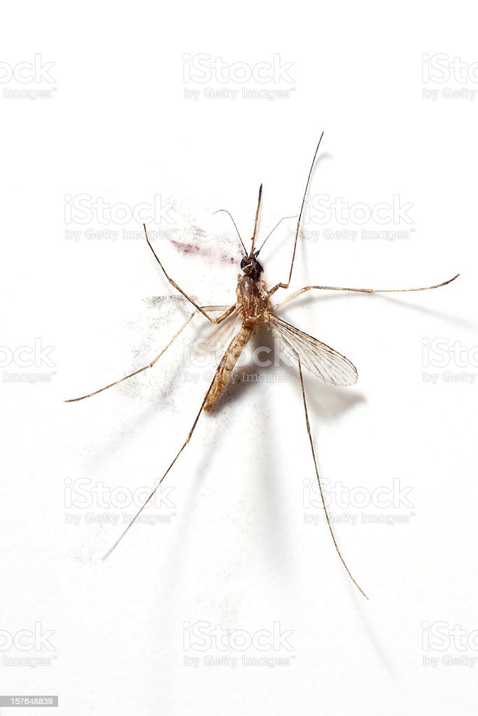 Squashed Mosquito stock photo