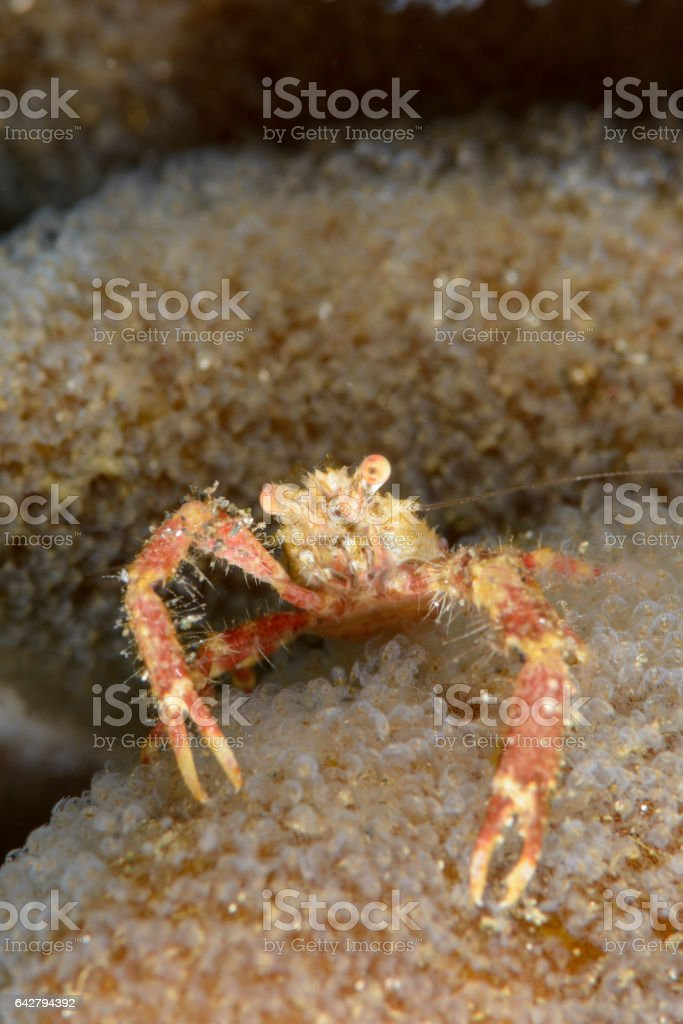 Squat lobster - Galathea sp. stock photo