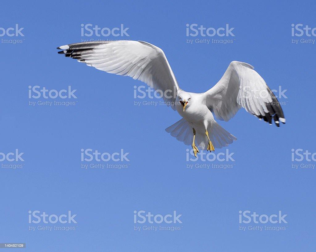 Squawking Gull royalty-free stock photo