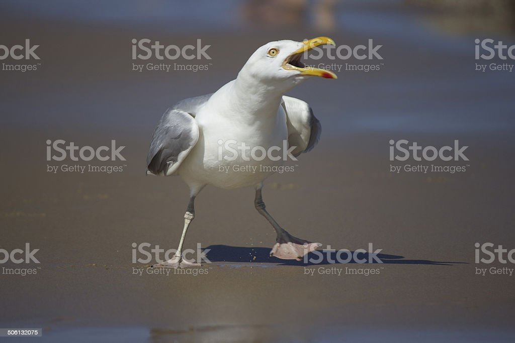 Squawking Seagull stock photo