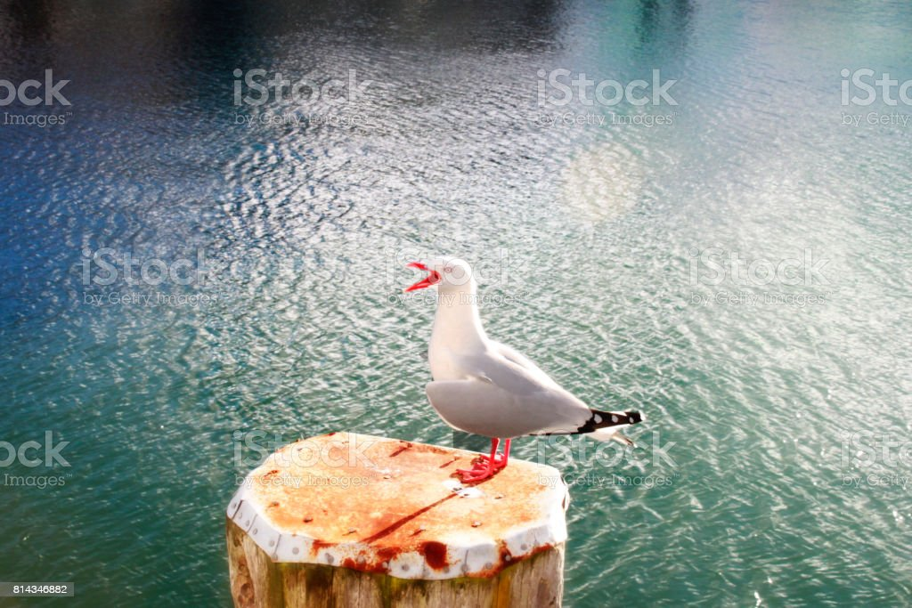 Squawking Seagull stock photo