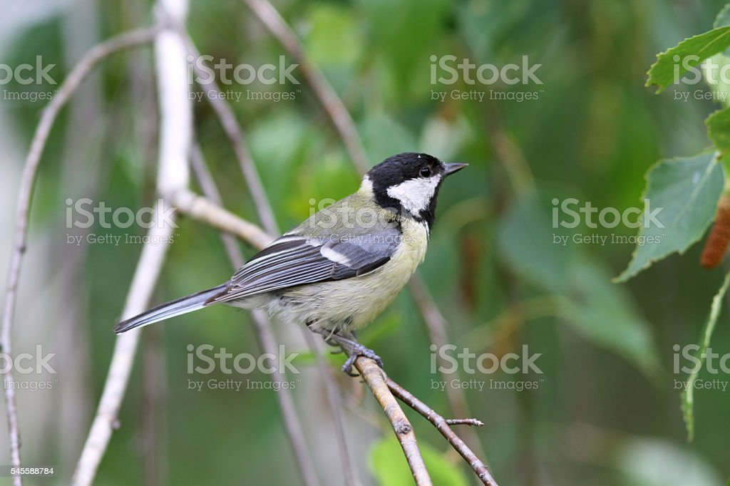 Squeaker great tit aka parus major learn to fly springtime stock photo