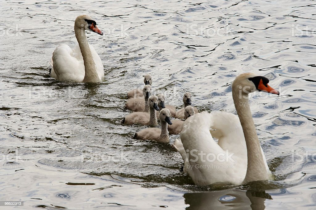 squeakers - cygnet stock photo