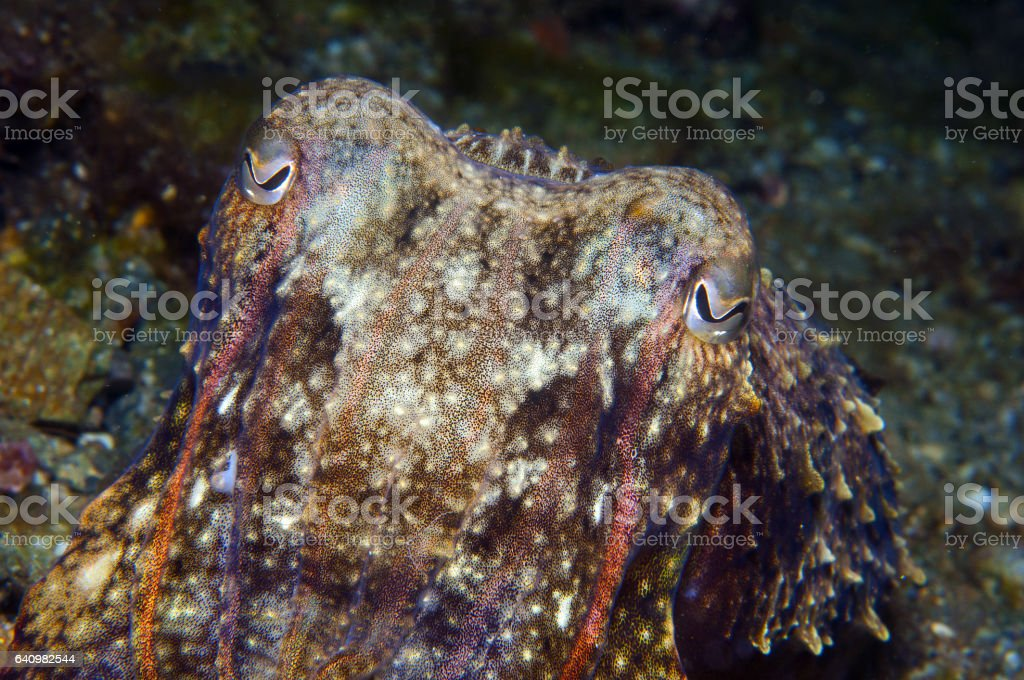 squid hiding to catch small fish stock photo