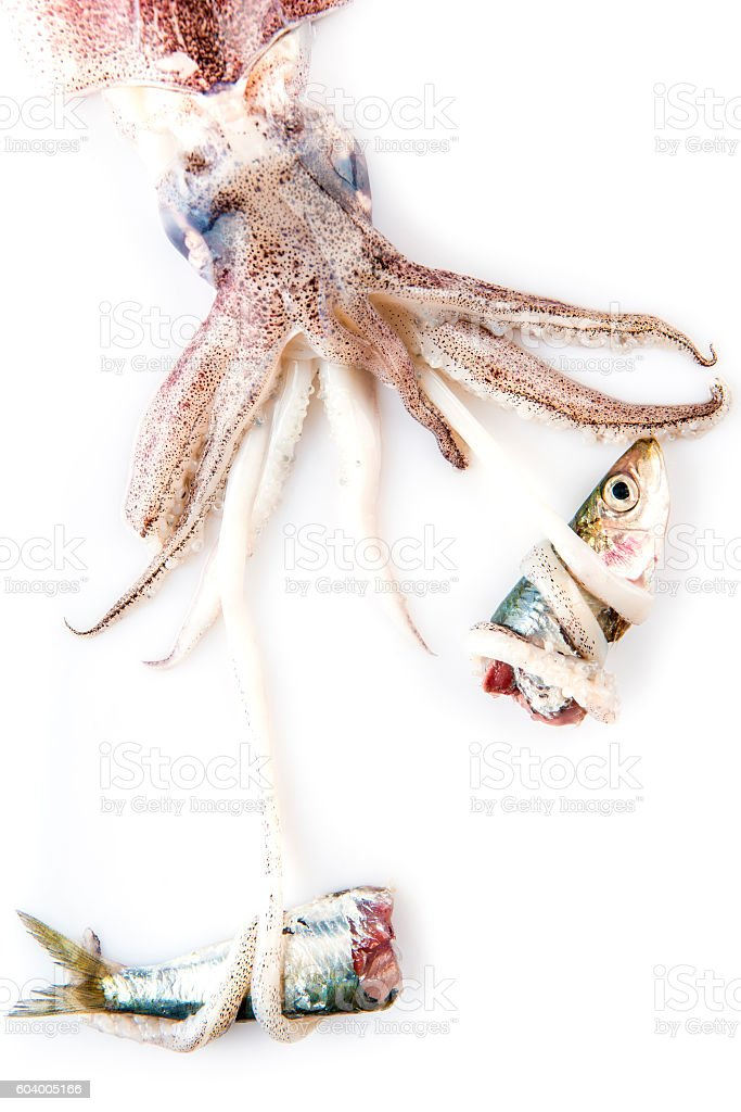 Squid hunting a fish isolated on white stock photo