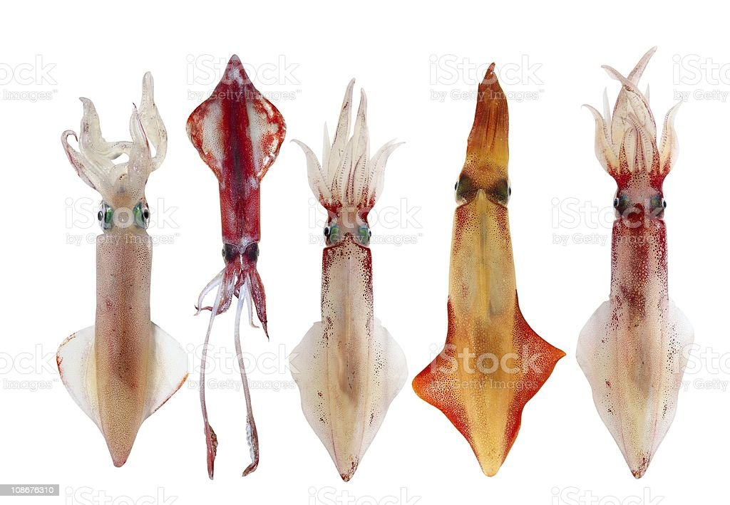 Squid Loligo vulgaris in a row seafood stock photo