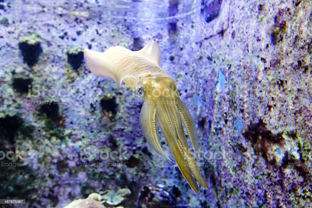 Squid royalty-free stock photo
