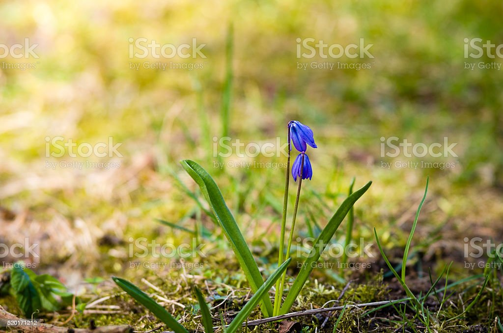 squill stock photo