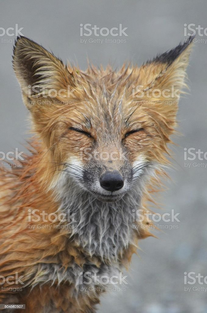 Squinting, blinking young red fox stock photo