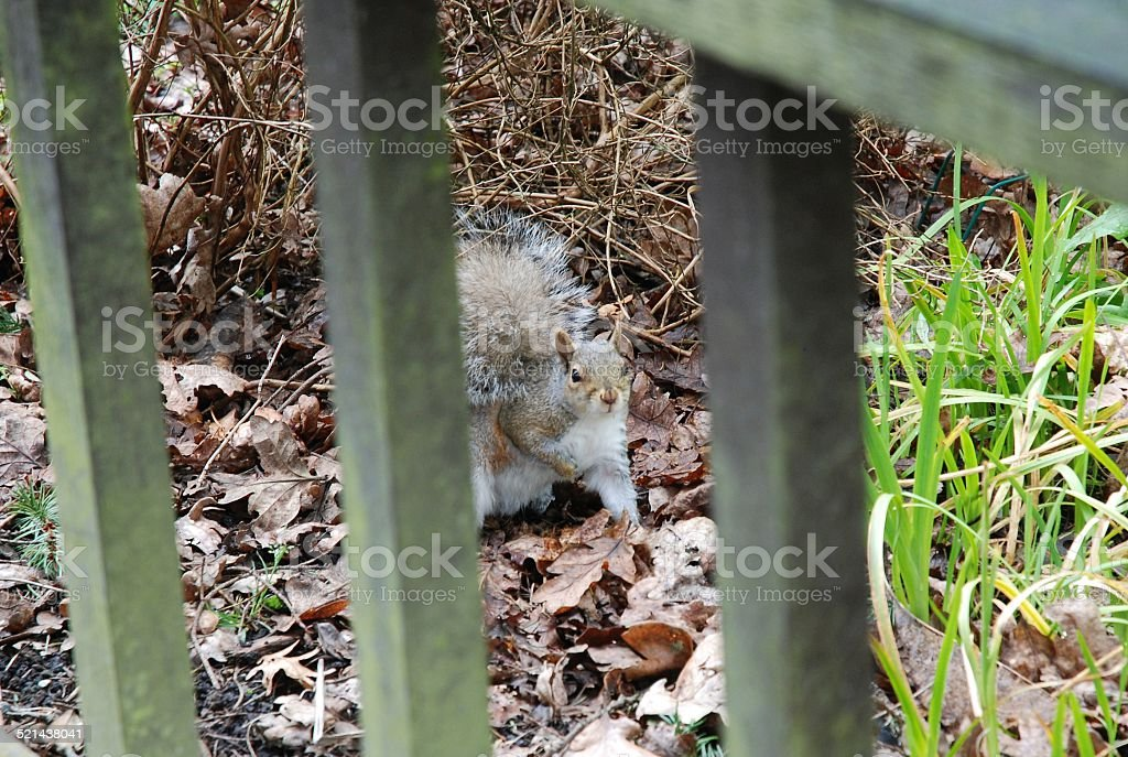 Squirell royalty-free stock photo