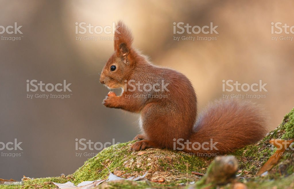 Squirell stock photo