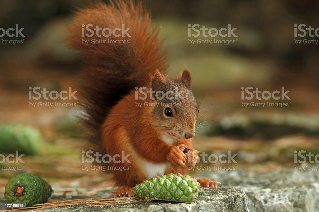 Squirrel 04 stock photo