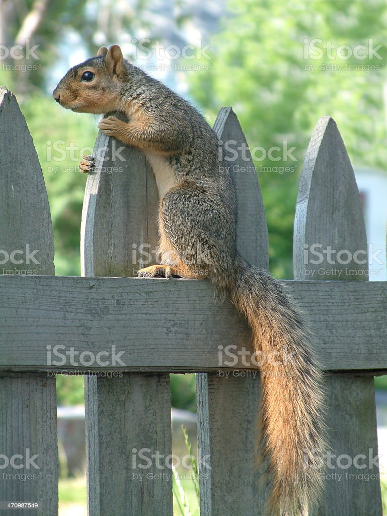 Squirrel 1 royalty-free stock photo