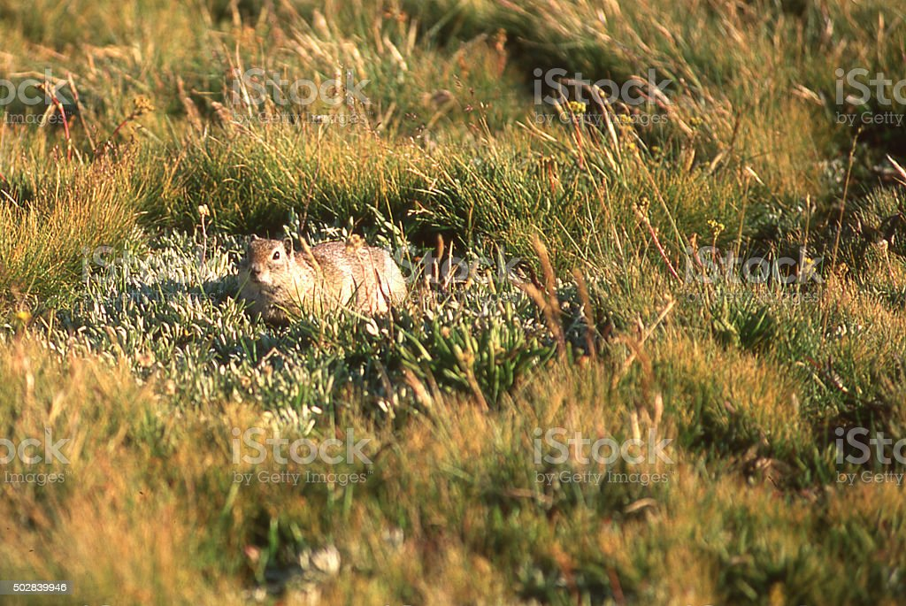 Squirrel alpine grasslands in Tuolumne Meadows Yosemite National Park California stock photo