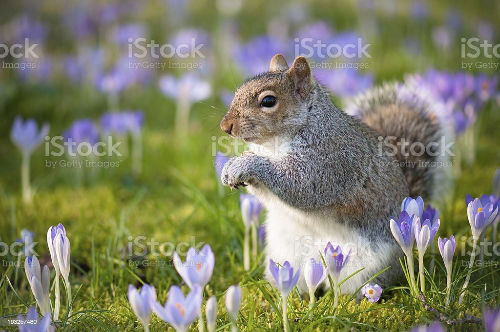 squirrel and crocuses royalty-free stock photo