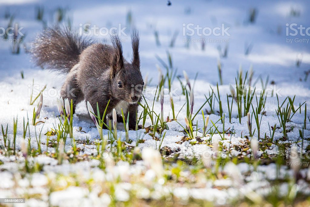 squirrel at spring with snow stock photo