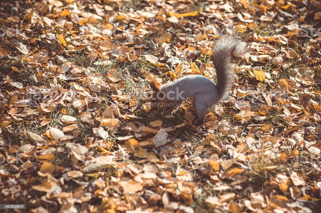 Squirrel, autumn, looking for acorn in dry leaves stock photo