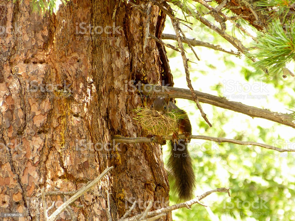 Squirrel building a nest stock photo